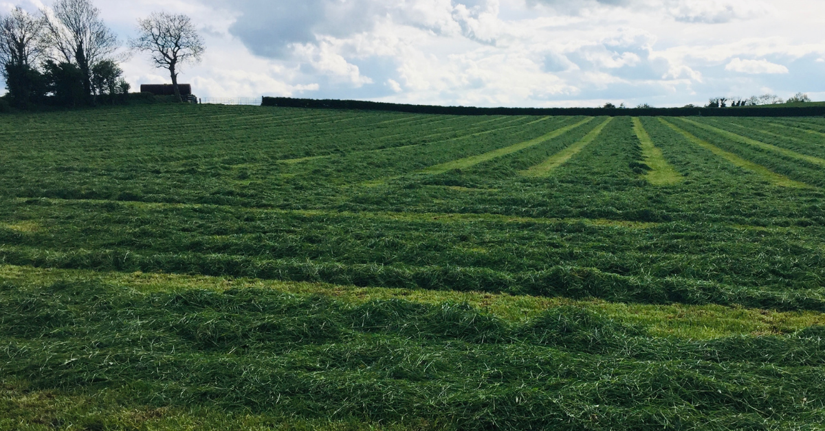 Second cut silage on the ground